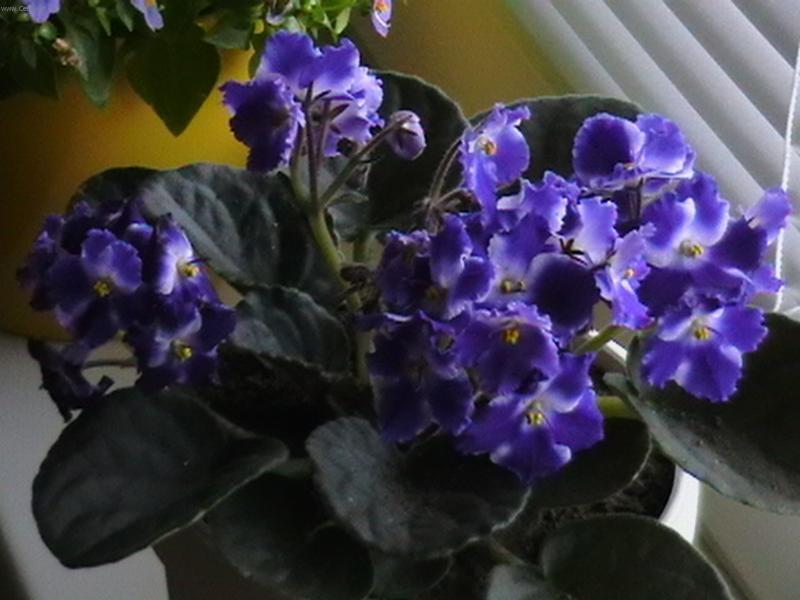 Паспорт комнатных растений Герань фуксия бегония