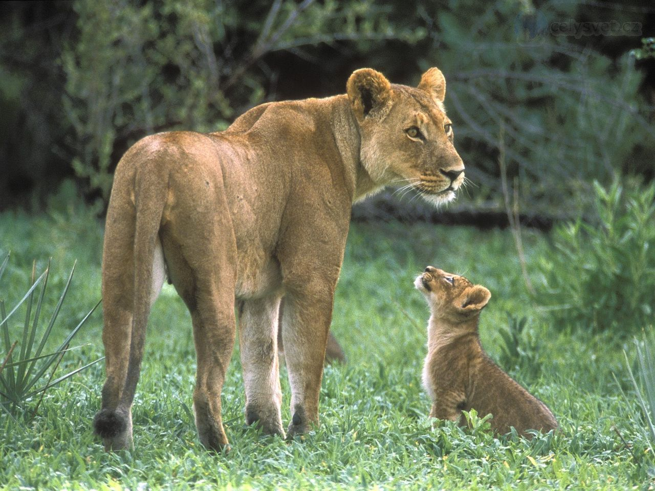 When Do Lions Stop Caring for Their Cubs  Animals  momme